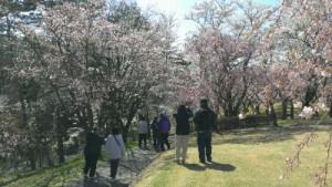 逢瀬公園の桜を見ながら散歩
